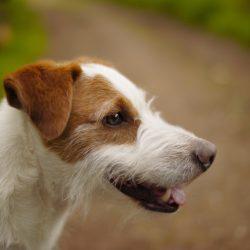Welche Hunderassen werden getrimmt?